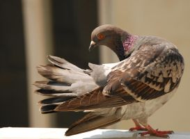 pigeon by ovidescovici