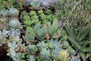 Succulents 3 by ChinookDesigns