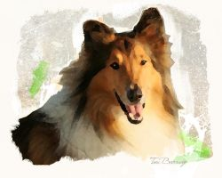 Collie by ToriB