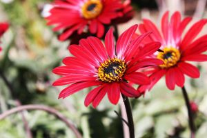 Red Daisy. by one1-seven7