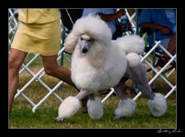 Standard Poodle- White by StrictlyCanine-SI