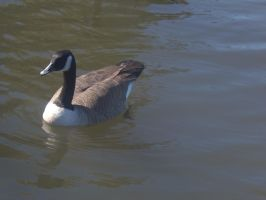 Goose Stock 1 by Marzipan-Stock