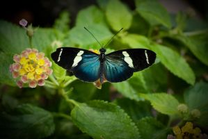 butterfly by ed80