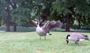 Geese VI by Anidi