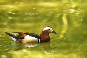 Mandarin by EliseJ-Photographie