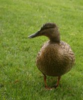 duck staying and looking by Nexu4