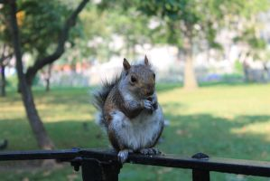 New York Squirrel by Matthews-DA