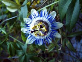 passiflora by in-my-mind