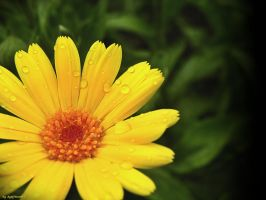 yellow flower after rain by sylffkaaa