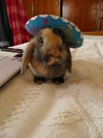Stock Mexico bunny mini lop by Angiepureheart