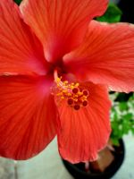 Hibiscus by tracy-Me