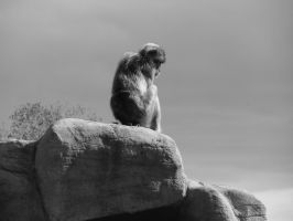 In Thought - Barbary Ape by roamingtigress