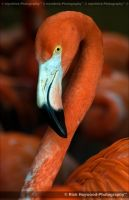 Oh Pretty Flamingo 1069j by mym8rick