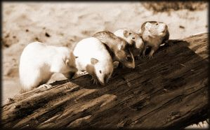 beach rats by RatWrangler