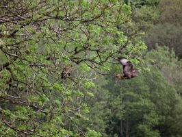 two buzzards by harrietbaxter