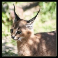 Little Caracal by Globaludodesign