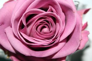 Pink Rose 02 by Shaggy87