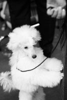 Poodle by Kristina-Becker