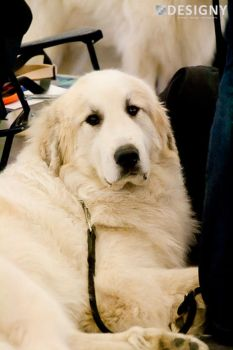 Pyrenean mountain dog by Designy