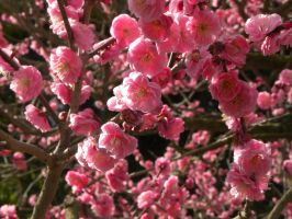 Japanese apricot blossom by RiverKpocc