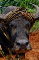 philippine carabao by cainoy