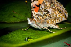 Butterfly macro by msk11
