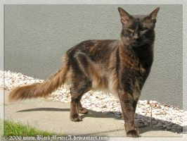 Jayto the Oriental Longhair by BlackMysticA
