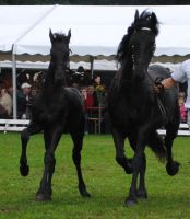 Friesian Mare With Foal 01 by ponystock
