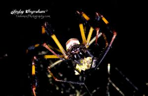Banana Spider eating by lindsy1979