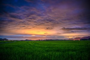 Rice Fields by lkozenieski