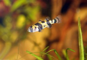 Goby by ladonia