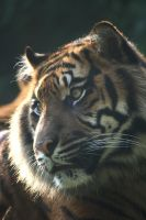 Sumatran tiger 18 by Sabbie89