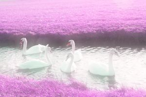 dreamy fairytale swans by priesteres-stock