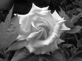 White Rose by little--grasshopper