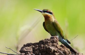 Basking Bee Eater Redux by garion