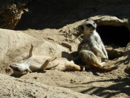 Lazy Meercats by ScraftyLark