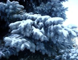 Blue spruce by Ryaff