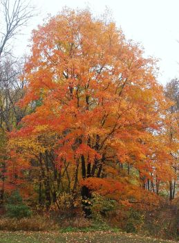 Fall Tree 3 by almosthuman75