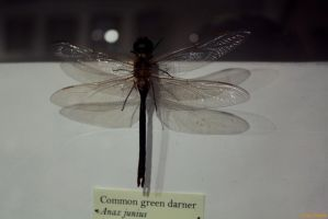 Dragonfly from museum by LouiseCypher