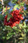 Red Berries by RichardEdwards
