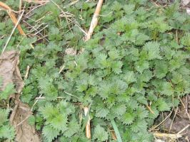 young nettles by mimustock