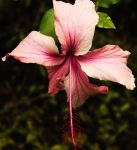 Pink Hibiscus 2 by ErinM2000