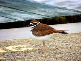 Killdeer by dmguthery