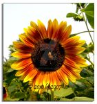 Sun flower - 2 by bp2007