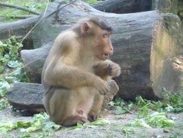 southern pig-tailed macaque by Feridwyn