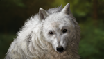 Arctic Wolf by AvengingCoconut