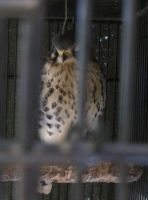 Kestrel in a Cage by Windthin