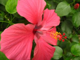 Hibiscus by looceh