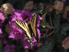 Western Tiger Swallowtail 16 by photographyflower