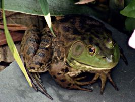 Buford the Bullfrog by JeremyC-Photography